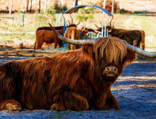 Ein Besuch bei den Rindern