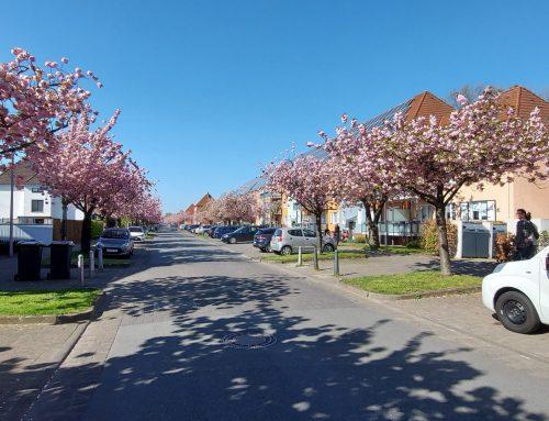 Japanische Kirschblüte in Bielefeld